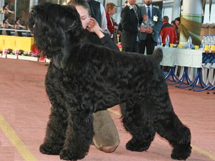 Svart rysk terrier